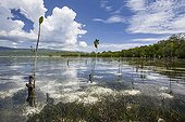 Mangrove trees plantation in Sika Island - Alor Indonesia