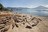 Shark fins and Manta gills drying - Lamakera Solor Indonesia ; Shark fins and Manta gills