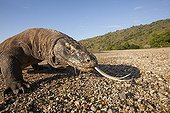 Portrait of Komodo Dragon on a beach - Komodo Indonesia