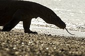 Komodo dragon walking on a beach - Komodo Indonesia