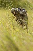 Portrait of Komodo Dragon in the grass - Rinca Indonesia