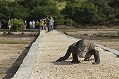 Tourists and Komodo Dragon on a driveway - Rinca Indonesia