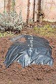 Endives under plastic cover in a kitchen garden