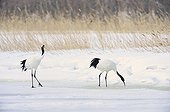 Red-crowned Crane eating on the snow - Hokkaido Japan