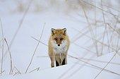 Red fox in the snow - Hokkaido Japan