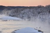 Red-crowned Cranes and Sika deers in a winter river - Japan