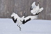 Red-crowned Cranes displaying on snow - Hokkaido Japan