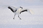 Red-crowned Crane displaying on snow - Hokkaido Japan