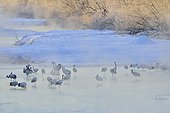 Red-crowned Crane in a river in winter - Hokkaido Japan