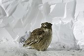 Blackiston's Fish owl on snow at night - Hokkaido Japan