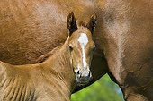 English Thoroughbred foal against her mother in a stud