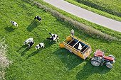 Holstein heifers out of a cattle truck in a field - France