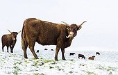 Salers cows in a meadow covered with snow in winter - France