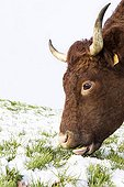 Salers cow in a meadow covered with snow in winter - France