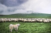 Pyrenean Mountain Dog and Rava Sheep in a sorting park