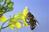 Honey bee foraging flower Rape - France
