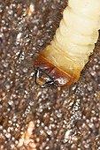 Larva Long-horned Beetle under the bark of a tree - France