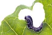 Turnip Sawfly larva on rapeseed leaf - France