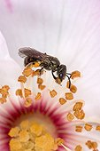 Bee foraging Rose - France