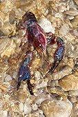 Red Swamp Crawfish on pebble in the water - Spain