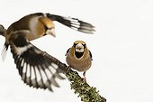 Hawfinch male fighting on a branch - France