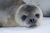 Young Weddell seal on the sea ice - Antarctica
