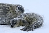 Weddell seal and young on the sea ice - Antarctica