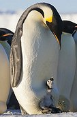 Male Emperor Penguin and chick on its feet - Antarctica