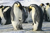 Male Emperor Penguins and chicks on their feet - Antarctica