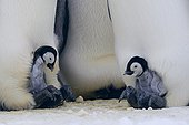Emperor Penguins chicks on the legs of their parents