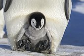 Emperor Penguins chick on the legs of its parents