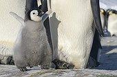 Jeune Manchot empereur à côté de son parent - Antarctique