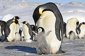 Manchot empereur près de son jeune  - Antarctique