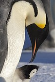 Emperor Penguin and chickon the ice - Antarctica