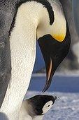 Manchot empereur et jeune sur la banquise - Antarctique