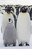 Emperor penguins and their young on ice - Antarctica