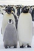 Manchots empereurs et leur jeune sur banquise - Antarctique