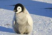 Jeune Manchot empereur sur la banquise - Antarctique