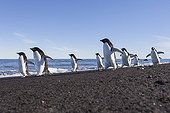 Adelie penguins on the shore - Ross Sea Antarctic