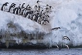 Adelie penguins jumping into the water - Ross Sea Antarctic