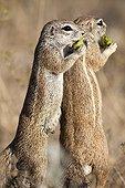 South African Ground Squirrels eating - Etosha Namibia