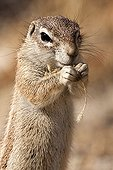 South African Ground Squirrel eating - Etosha Namibia