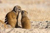 Mongooses at the entrance of the burrow - Etosha Namibia