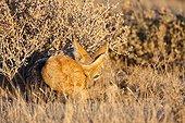 Black-backed jackal lying in the bushes - Etosha Namibia