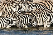 Burchell's Zebras at the waterhole - Etosha Namibia