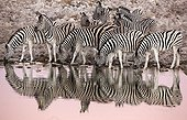 Burchell's Zebras at the waterhole at dawn - Etosha Namibia