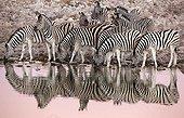 Burchell's Zebras at the waterhole at dawn - Etosha Namibia