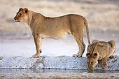 Lioness and lion cub at water - Etosha Namibia