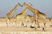 Giraffes at the waterhole - Etosha Namibia