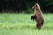 Grizzly standing in grass - British Columbia Canada